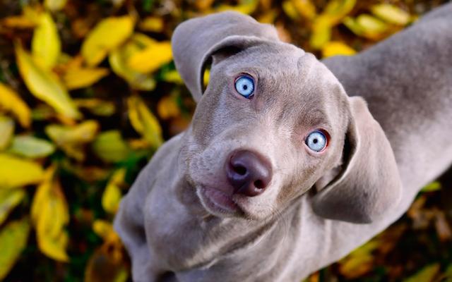 Rogna Demodettica o Rogna rossa del cane