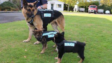 Liù e Zoe, i cani medici che fiutano il tumore