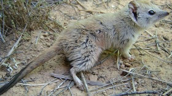 Avvistato in Australia un esemplare di mulgara che si credeva estinto