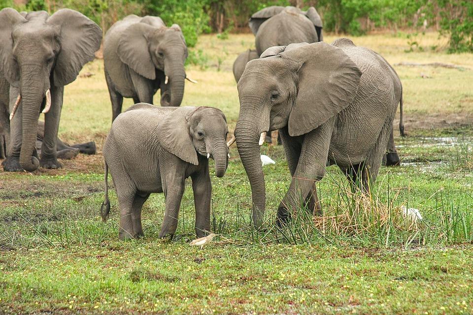 Cina: storico stop al commercio di avorio per tutelare gli elefanti