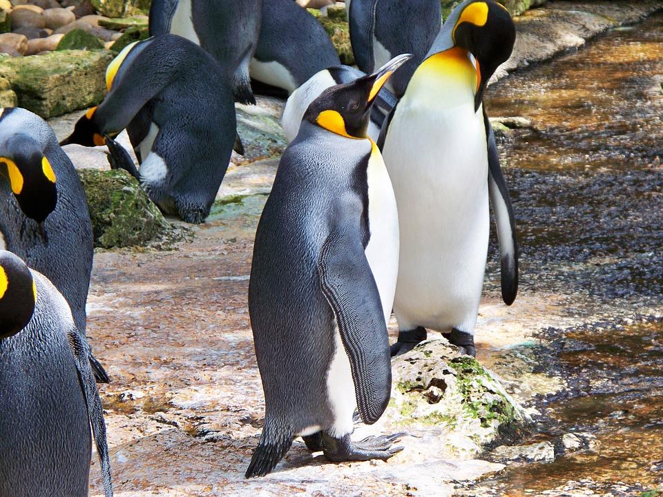 I pinguini reali dell'Antartide devono trovare una nuova casa