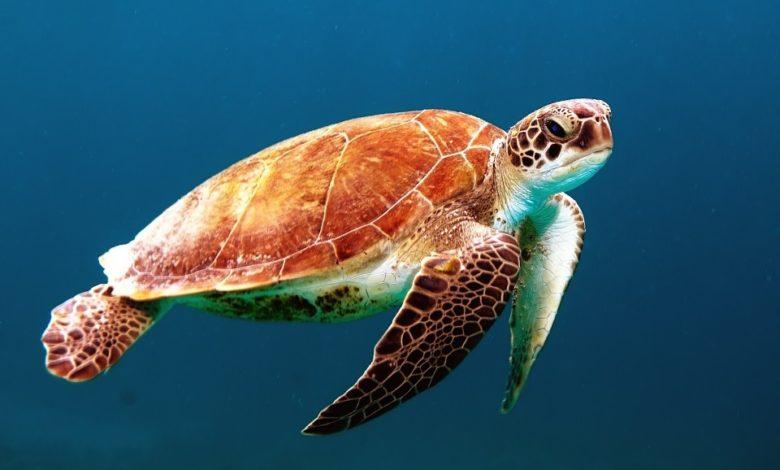 Tartarughe marine: la campagna di Legambiente per salvaguardarle