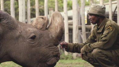 Addio a Sudan, l'ultimo rinoceronte bianco maschio