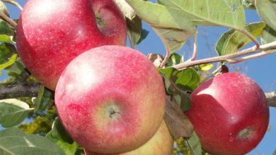 Chemioterapia, la mela annurca contro la caduta dei capelli