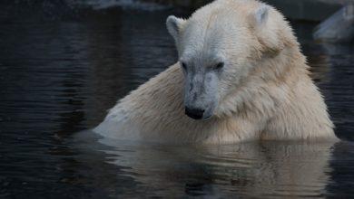 Yupik, l'orso polare obbligato a vivere al caldo