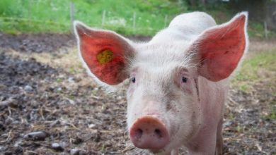 Allevamenti maiali in Lombardia, video shock denuncia gli orrori