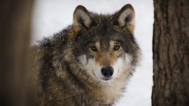 Bolzano vuole riaprire la caccia al lupo, raccolta firme online