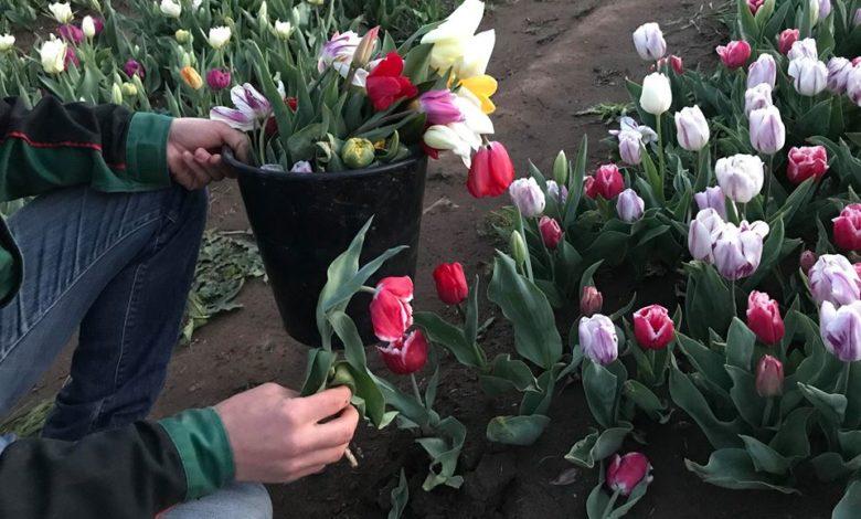 Parco dei tulipani a Roma devastato in due giorni