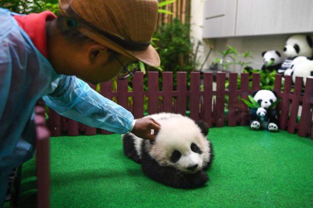 Baby panda di cinque mesi presentata alla stampa in Malesia