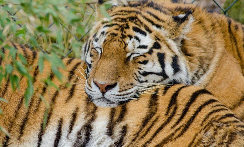 tigre estinzione