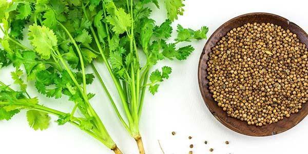 Il coriandolo: i benefici dell'erba che depura dai metalli pesanti