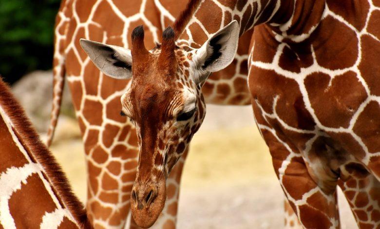 Boom del mercato di oggetti in pelle di giraffa: si rischia l'estinzione