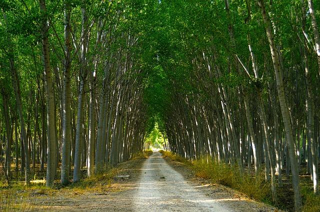 Conad: pioppicultura in Pianura Padana per contrastare i cambiamenti climatici