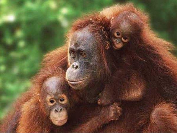 Orango a rischio: l'appello di Legambiente contro l'uso dell'olio di palma