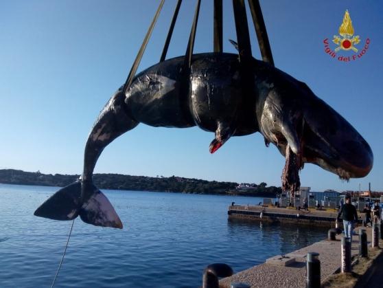 Capodoglio spiaggiato in Sardegna: 20 Kg di rifiuti plastici nello stomaco