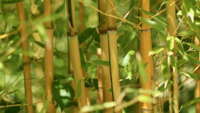 Bambù Pianta