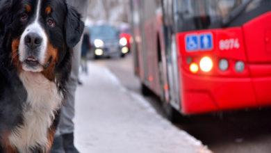 Cane Autobus