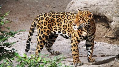 Giaguaro Pericolo