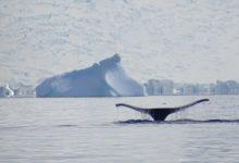 Balena Poli