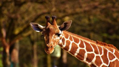 Giraffa Nana