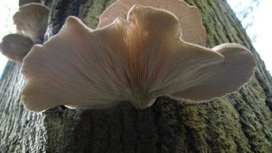 Funghi Orecchioni