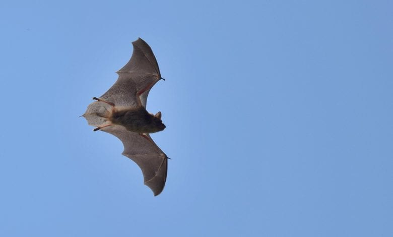 Pipistrelli Cina