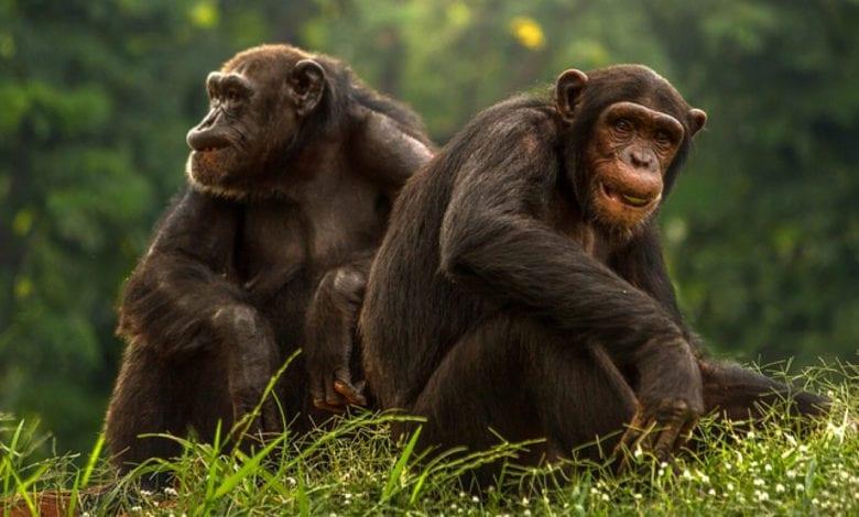 Scimpanzé Amicizia