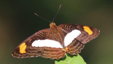 Farfalle Cinciarelle