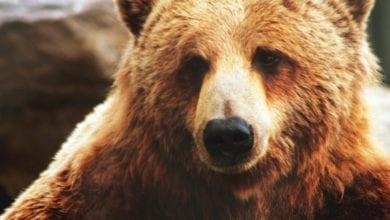 Orso Grizzly Riconoscimento Facciale