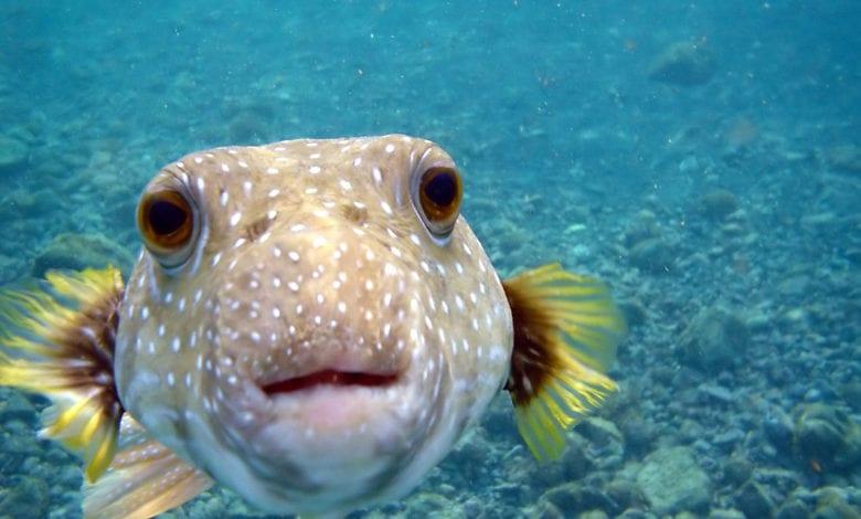Pesce Palla