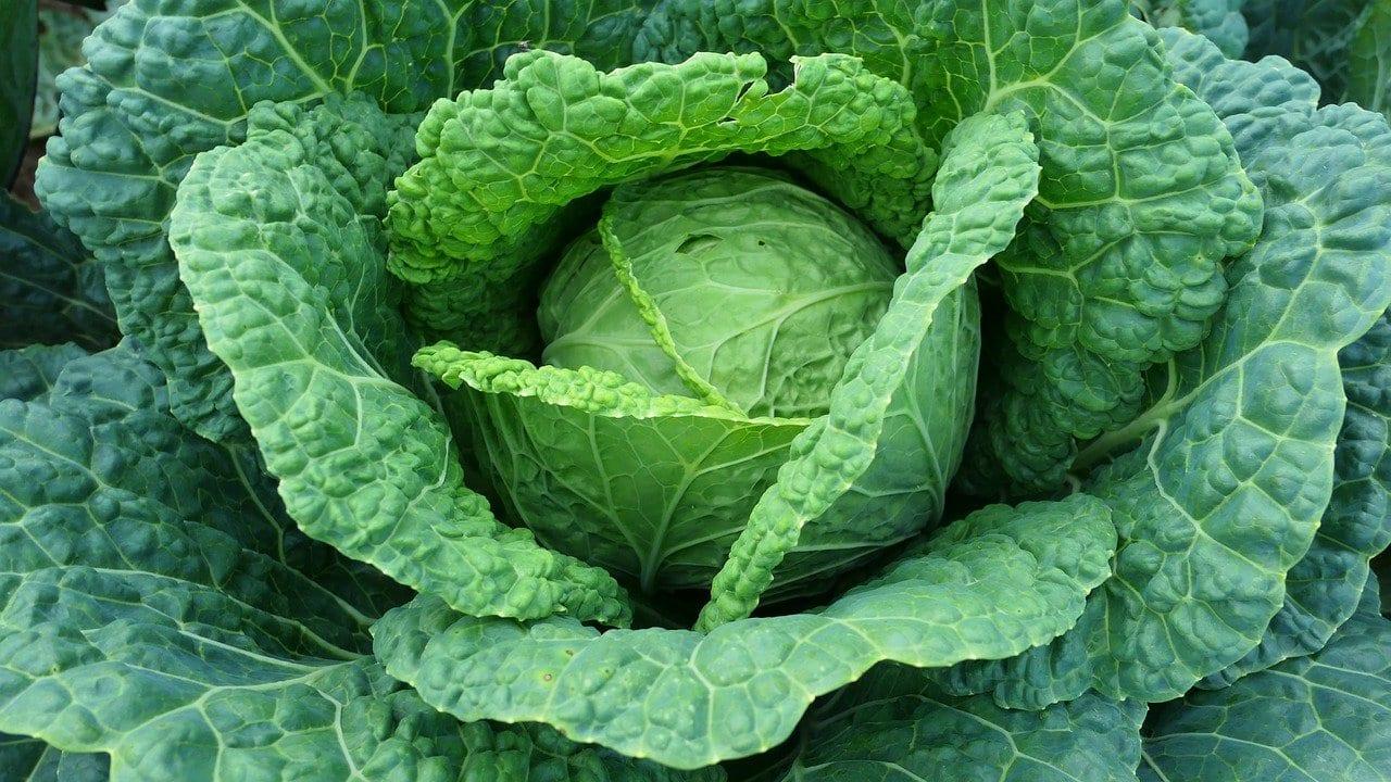 Cavolo Agrovoltaico