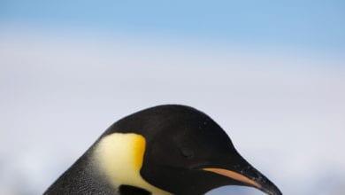 Pinguino Imperatore WWF