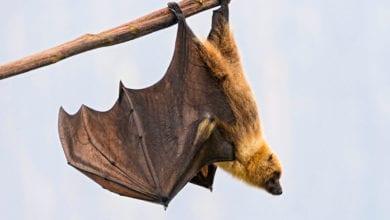 Pipistrelli Zanzare Spagna